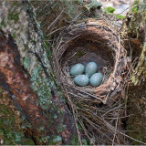Гнездо дрозда (лес на берегу Озернинского водохранилища).