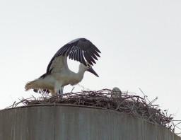 Нижнее Сляднево. Птенец аиста в гнезде на верху водокачки.
